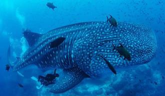 ジンベエザメの腹部に超音波機器を当て、卵巣を撮影する沖縄美ら島財団の研究員=2018年9月、ガラパゴス諸島周辺海域(同財団提供、広角レンズで撮影)