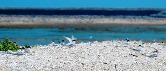 羽を休めるコアジサシ=2日、沖縄市・泡瀬干潟(屋良朝敏さん提供)