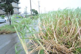 台風で幹が傾き、道路に倒れているサトウキビ=27日午前11時20分、宮古島市