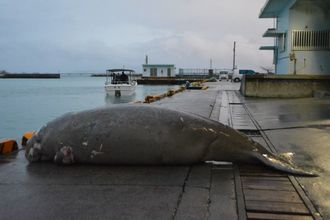 漁港の岸壁に横たえられたジュゴンの死体。左奥の突堤の海側に引っかかっていた=18日、今帰仁村・運天漁港