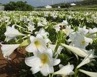 週末から「花見」シーズン到来 テッポウユリなど世界のゆり一堂に 沖縄・伊江島ゆり祭り
