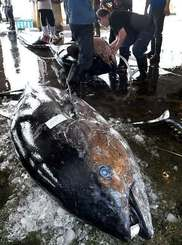 水揚げされる沖縄近海で捕れたクロマグロ=20日午前、那覇市港町・泊漁港