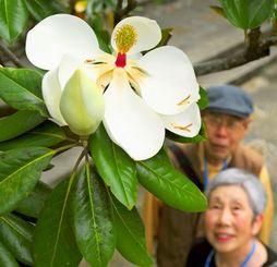 甘い香りを漂わせるタイサンボクの花=8日、那覇市久米・福州園(松田興平撮影)