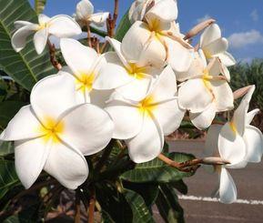 沿道に満開に咲いているプルメリア=多良間村