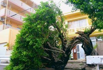 突風でなぎ倒された樹齢約100年のガジュマルの木=8日午後4時15分、石垣市大浜