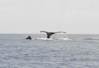 尾びれを見せて泳ぐザトウクジラの親(右側)とその子どもの背びれ(同左)=1日、座間味島北1キロ沖合(宮城清さん提供)