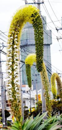 沖縄の村に首長竜が? 正体は珍花アガベアテナータ 北中城で咲く「初めて見た」