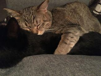 「いつでもきみのそばがいい」我が家の仲良しカップル@那覇市内 オス猫は、メスの黒猫をハグして寝ます。