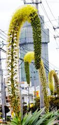 先端が下方に曲がったアガベアテナータの花=14日、北中城村島袋の美島通り
