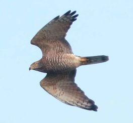 石垣上空に飛来したサシバ=石垣市・バンナ公園付近
