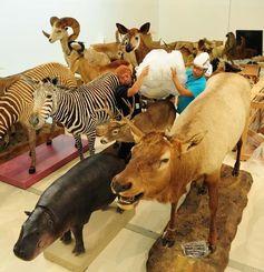 次々と搬入される世界各地の哺乳類のはく製=6月30日午前、那覇市おもろまちの県立博物館・美術館