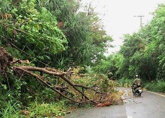 台風14号の強風で折れて町道の片側をふさいだ樹木=13日、与那国町比川(田頭瑠都通信員撮影)