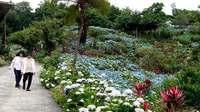 「青のじゅうたん」にうっとり 沖縄のよへなあじさい園、1万株咲き誇る