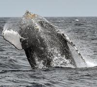 波しぶき、クジラは躍る 沖縄・本部半島沖