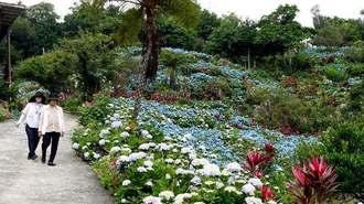 色鮮やかなあじさいを見ながら散策する人たち=6月5日、本部町伊豆味の「よへなあじさい園」