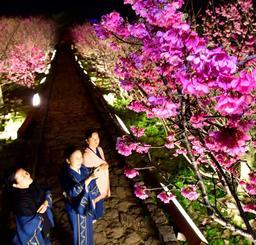 ライトに照らされ幻想的な夜桜が楽しめる今帰仁グスク桜まつり=26日午後7時すぎ、今帰仁村(下地広也撮影)