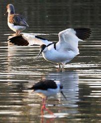 野鳥が集まる通称「三角池」で羽ばたこうとするソリハシセイタカシギ=15日午前8時すぎ、豊見城市与根(松田興平撮影)