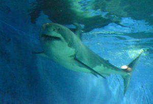 展示が始まったホホジロザメ=6日午後、本部町の沖縄美ら海水族館