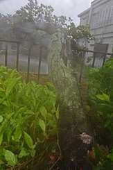強い風で根本から倒れた街路樹=10日午後5時半ごろ、石垣市大川(国吉聡志撮影)