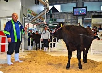高値での取引が続く宮古島の牛の「初セリ」=19日、JAおきなわ宮古家畜市場