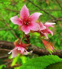 ヒカンザクラ早くも咲く 沖縄・名護市「年内に満開?」