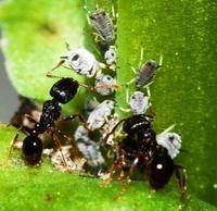ヒアリ防除の可能性も? アリの情報伝達方法、琉大チームが解析