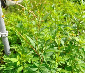 【写真】生い茂るセンダングサ