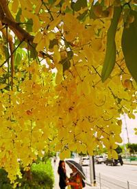 黄金の花鮮やかに、ゴールデンシャワー咲く 那覇市与儀・赤十字病院前