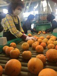 タンカンを選別する作業員=8日、名護市のJAおきなわ北部地区営農振興センター