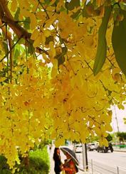 好天の下で咲き誇るゴールデンシャワー=8日、那覇市与儀・沖縄赤十字病院前(国吉聡志撮影)