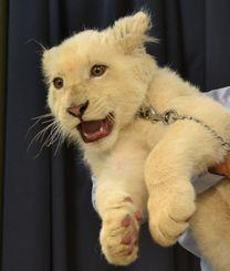 新しく沖縄子どもの国の仲間に加わったホワイトライオン