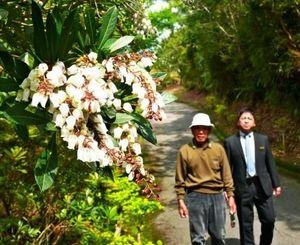 鈴なりに白い花を咲かせているリュウキュウアセビ=名護市・カヌチャリゾート