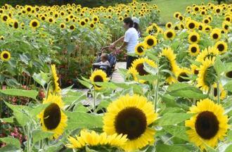 鳥取県南部町の県立フラワーパーク「とっとり花回廊」で見頃となった約3千本のレモン色のヒマワリ=13日