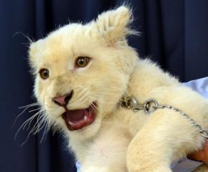 人気を集めるホワイトライオンの「セラム」=6月、沖縄こどもの国