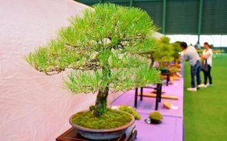 会員らが丹精込め育てた盆栽を見に最終日も多数の見学者が訪れた=22日、うるま市石川屋内運動場