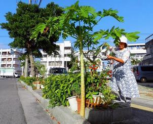 街路樹への成長を願い自生パパイアの世話に励む西岡さん=石垣市美崎町