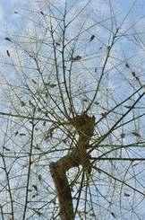 蛾の一種ホウオウボククチバに、ほとんどの葉を食べられたホウオウボク。黒い塊はホウオウボククチバの蛹=18日午後、那覇市泉崎