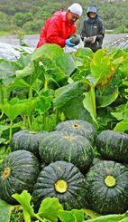 雨が降る中、カボチャの収穫に追われる農家=19日午前、南風原町津嘉山(国吉聡志撮影)
