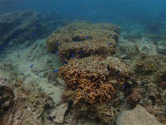 辺野古の新基地建設現場N3護岸付近で見つかった長径2メートル以上あるとされるトガリシコロサンゴ(提供)