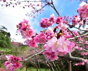 沖縄のサクラ(資料写真)