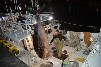 泊漁港で水揚げされた全長2メートル65センチ、380キロのクロマグロ=5日、午後10時5分