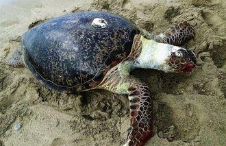 サイパンから沖縄へ移動したアオウミガメ。甲羅の白い部分が電波発信機=8月16日、国頭村伊地(嘉陽宗幸さん提供)