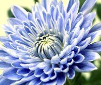 青い菊 鮮やか/新色、商業化に期待