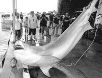サメ駆除 500キロ超えも/一本釣り研究会 八重山近海で60匹