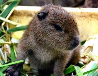 8日生まれたばかりの世界最大のネズミ、カピバラの赤ちゃん=18日、沖縄・東南植物楽園