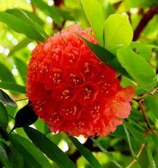 一つの花の見ごろが1~2日と短いオオホウカンボク=13日、海洋博公園熱帯ドリームセンター