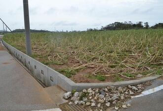 強風でなぎ倒されたサトウキビ=6日午後2時55分ごろ、宮古島市上野