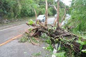 台風8号の影響で倒れて道路の片側一車線をふさぐ大木=11日午前8時ごろ、石垣市名蔵