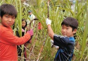 学校の農園で育てたキビ刈りを楽しんだ奥間小の児童=奥間小学校