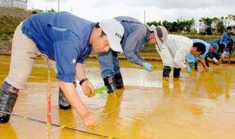 「難消化米」の県産品種開発中の苗を植える県農業研究センター名護支所の職員ら=26日、名護市名護・同支所